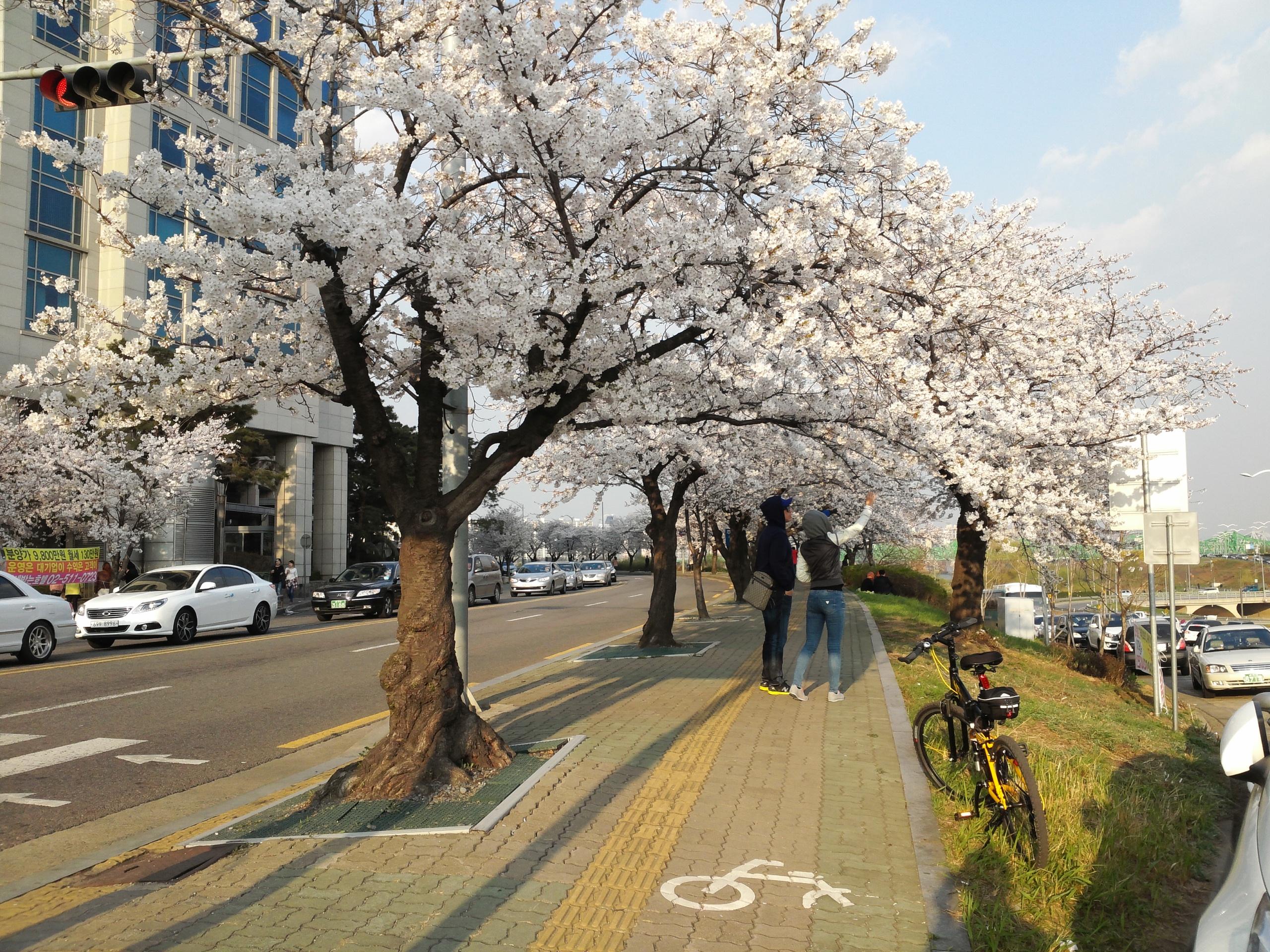 20140330_1732539.jpg : 벚꽃이 피었습니다.